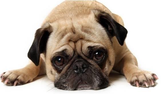 O que é empatia nos cães